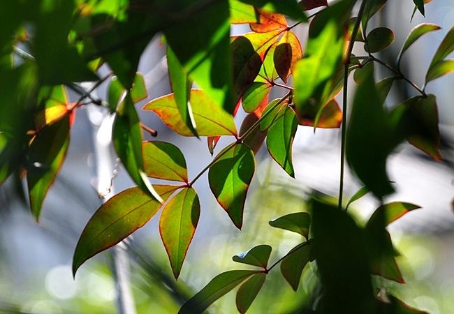 南天の葉2
