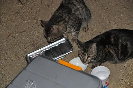 キャンプ場に猫