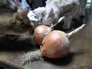 玉ねぎと猫4