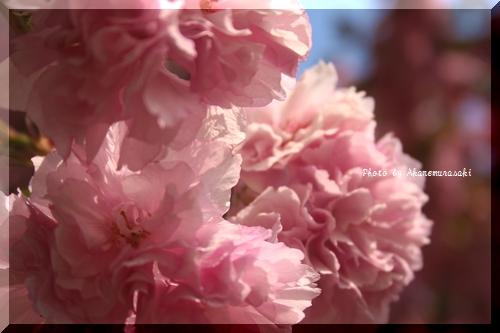 八重桜ドレス