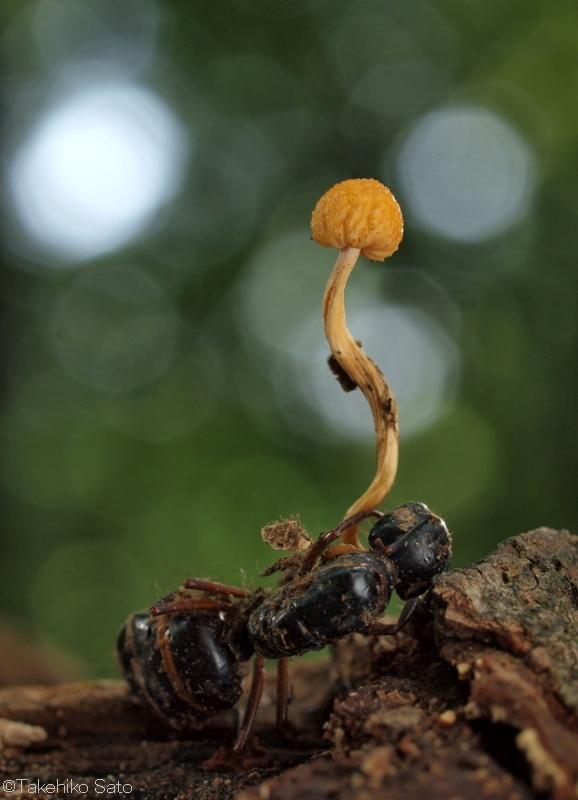 アリタケ Cordyceps formicarum