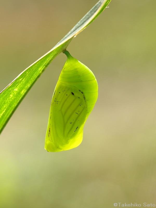 クロコノマチョウの蛹