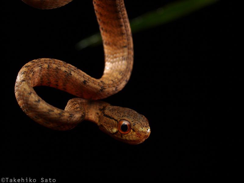 サザナミセダカヘビ