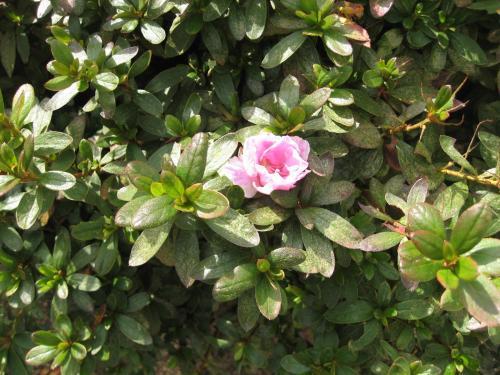 つつじ開花2010年11月18日