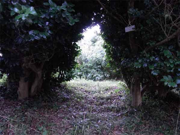 山頂の椿のトンネル