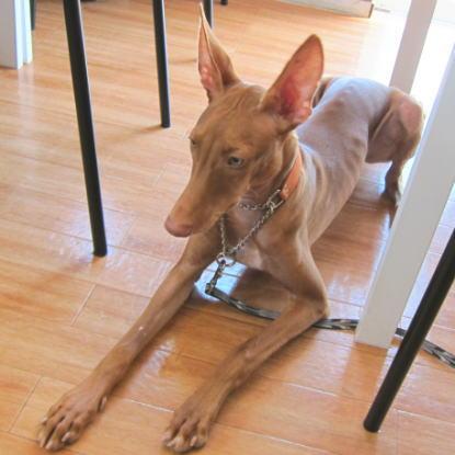 ファラオ犬