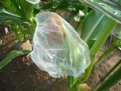 トウモロコシ・2