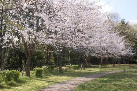 臼井城跡公園の桜