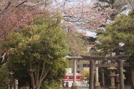 品川神社の桜①