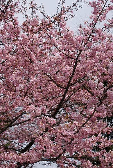 縮小河津桜