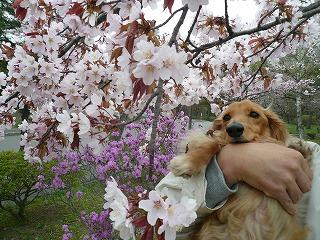 つつじと桜
