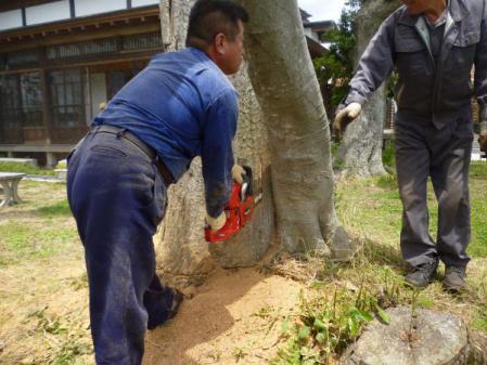 欅伐採:榎との間を慎重に
