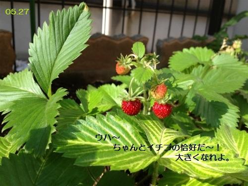 0527 イチゴ