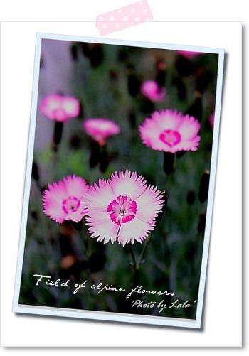 ピンクの可愛い花