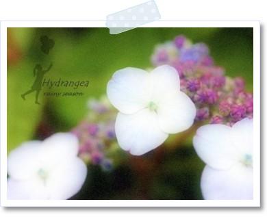 紫陽花 ☆