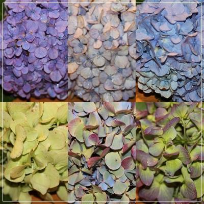 紫陽花の自由研究☆