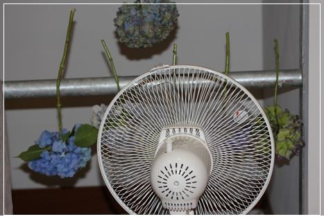紫陽花乾燥中