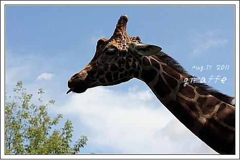 旭山動物園 キリンさん