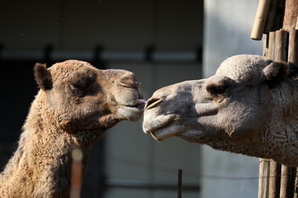 とべ動物園のラクダの「クロマ」