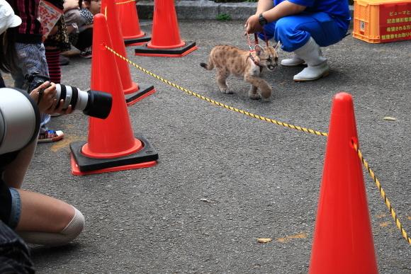 とべ動物園のピューマとの記念撮影会