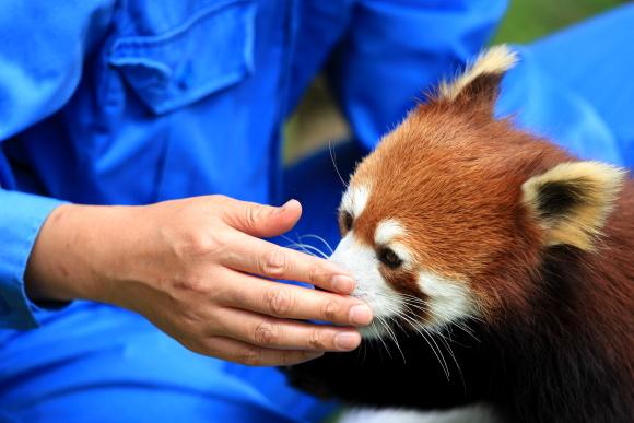 優しい手とレッサーパンダ