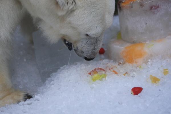 とべ動物園を応援する写真クラブのブログ-しろくまピース13歳お誕生日会