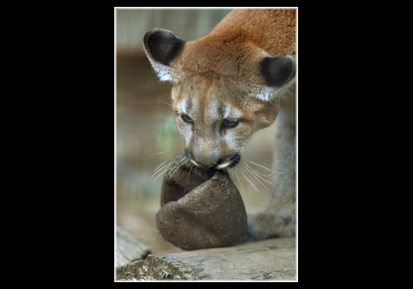 とべ動物園を応援する写真クラブのブログ-仔ピューマのボール遊び
