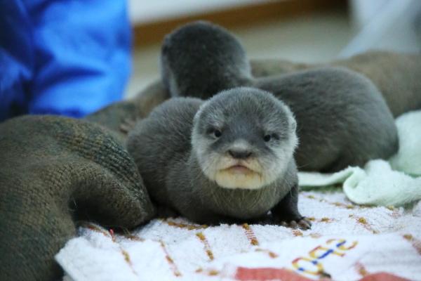 とべ動物園を応援する写真クラブのブログ-カワウソの赤ちゃん限定公開