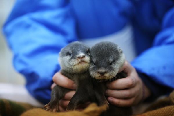 とべ動物園を応援する写真クラブのブログ-カワウソの双子の赤ちゃん少し大きくなったかな?