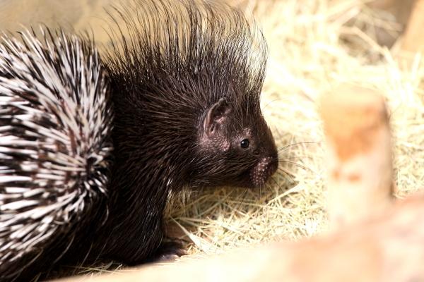 とべ動物園を応援する写真クラブのブログ-アフリカタテガミヤマアラシのウルル