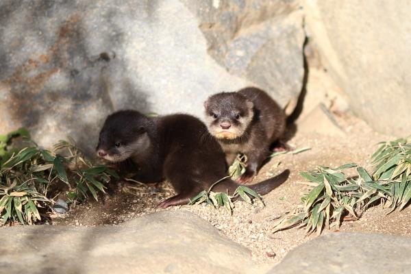 とべ動物園を応援する写真クラブのブログ-カワウソの赤ちゃんの気になる体重は?