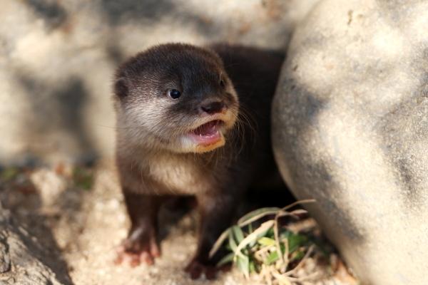 とべ動物園を応援する写真クラブのブログ-感動秘話赤ちゃんカワウソ物語飼育員が語る親子愛!