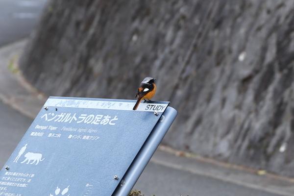 とべ動物園を応援する写真クラブのブログ-とべ動物園入り口近くの鳥さん