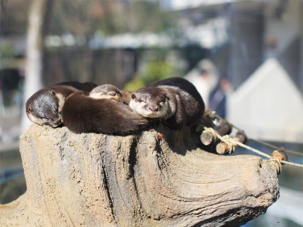 とべ動物園を応援する写真クラブのブログ-今とべ動物園で大人気のコツメカワウソ
