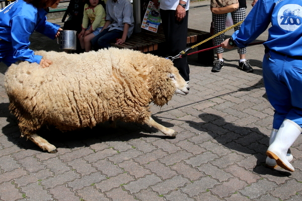 とべ動物園を応援する写真クラブのブログ-ヒツジの毛刈りイベント