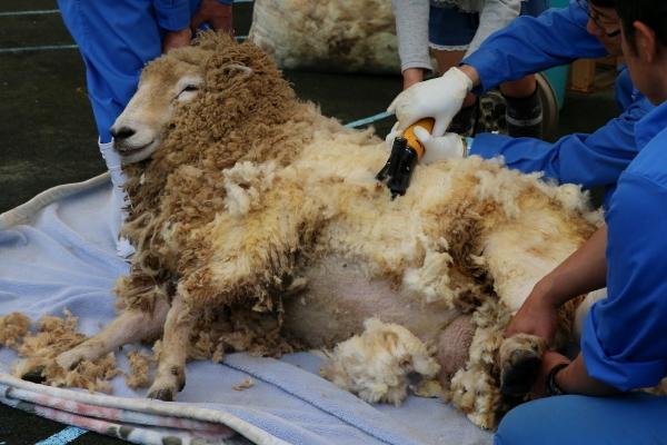 とべ動物園を応援する写真クラブのブログ-ヒツジの毛刈り