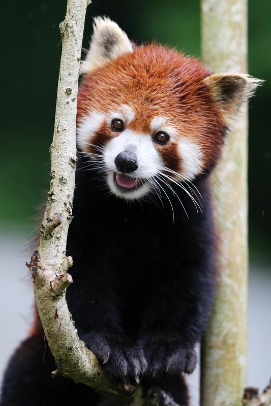 とべ動物園を応援する写真クラブのブログ-木登りが得意なレッサーパンダのシャンチーくん