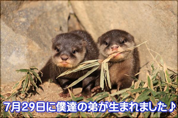 とべ動物園を応援する写真クラブのブログ-コツメカワウソ
