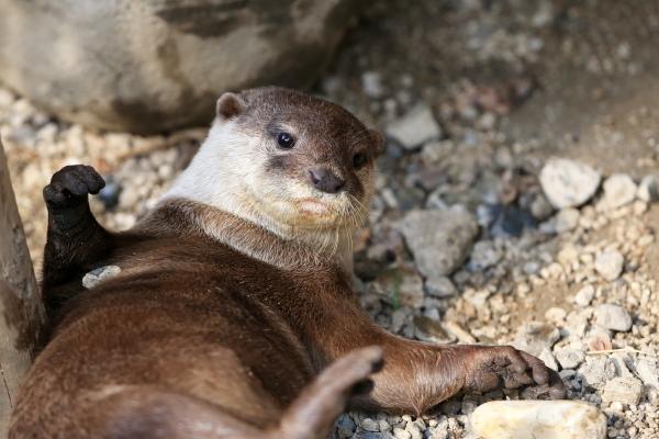 とべ動物園を応援する写真クラブのブログ-カワウソの写真