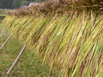 黒米刈り1