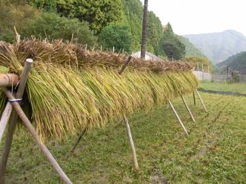 黒米刈り3