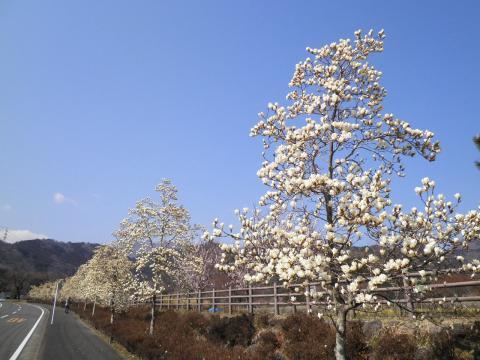 白木蓮の並木159