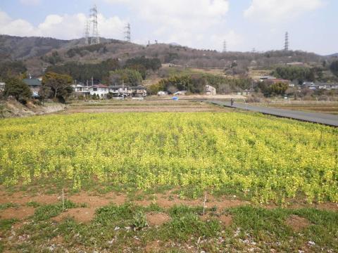 菜の花畑66