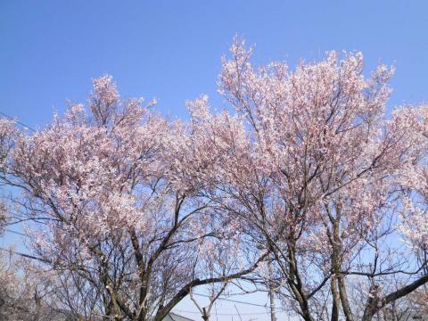 豆桜179