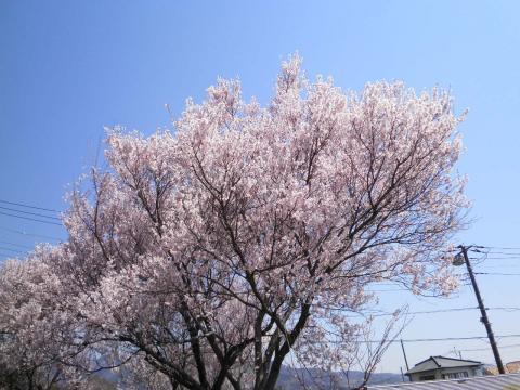 満開の豆桜29