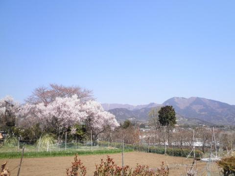 豆桜と三の塔13