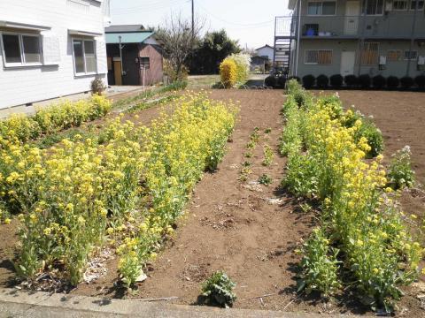 菜の花36