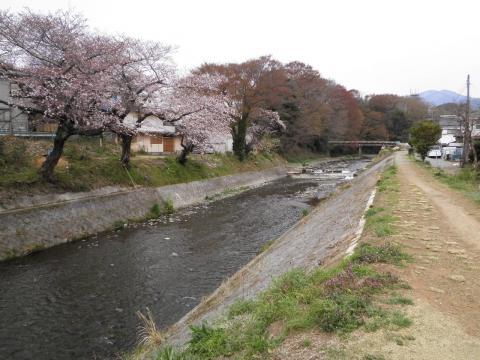 桜と金目川40