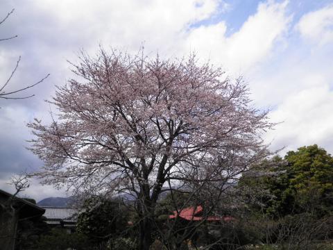近所の桜49