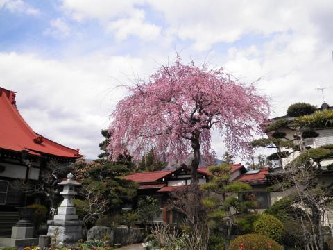 お寺の枝垂れ桜44